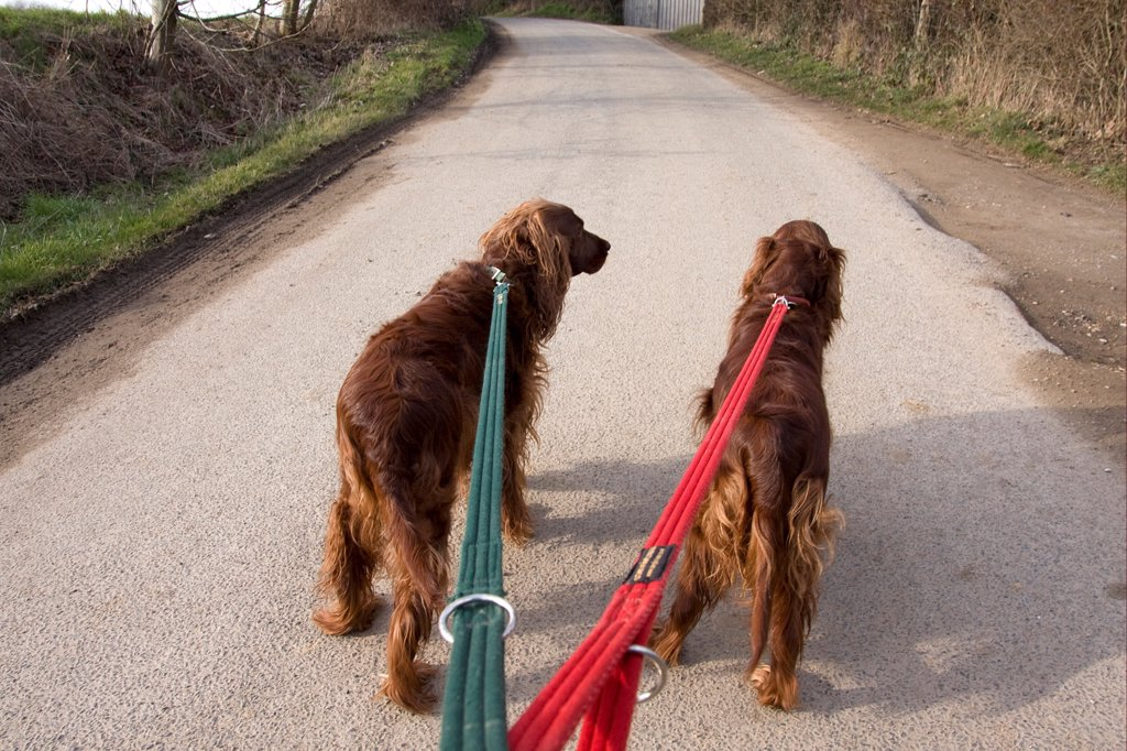 Domestic Dog, Irish Setter, two adults, walking on leads along rural lane, England, winter : Stock Photo