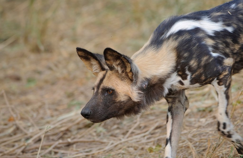 Stock Photo: 4421-18111 African Wild Dog (Lycaon pictus) adult, inquisitive, staring ahead, Mashatu Game Reserve, Tuli Block, Botswana