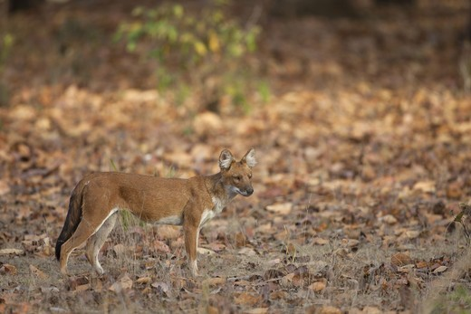 Dhole (Cuon alpinus) adult, standing in forest, Kanha N.P., Madhya Pradesh, India : Stock Photo