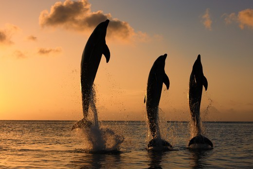 Common Bottlenose Dolphin (Tursiops truncatus) three adults, leaping, silhouetted at sunset, Roatan, Honduras : Stock Photo