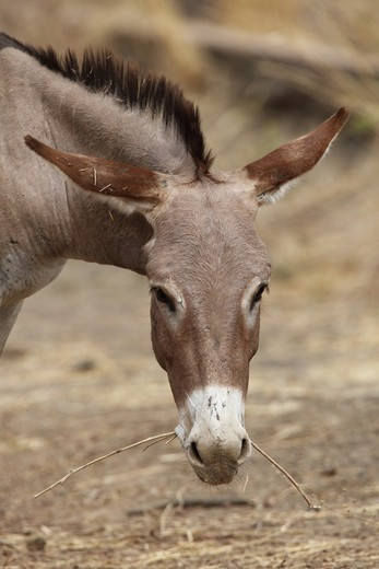 Stock Photo: 4421-18308 Donkey, adult, close-up of head, feeding on twig, Gambia, january