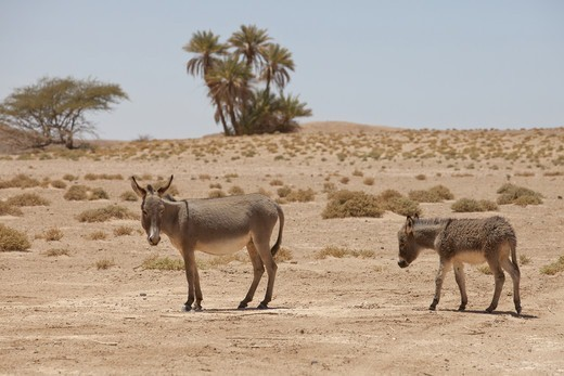 Donkey, adult female with young, standing in desert, Sahara, Morocco, may : Stock Photo