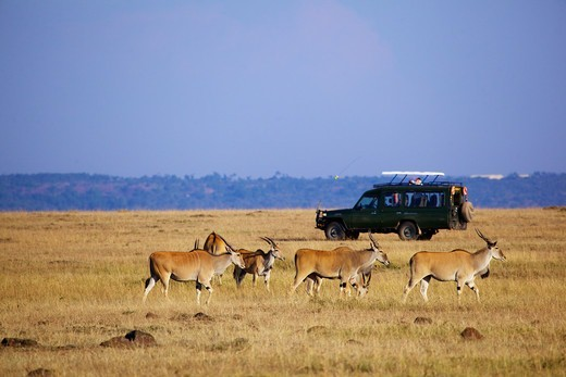 Stock Photo: 4421-18330 Common Eland (Taurotragus oryx) adults, herd in grassland habitat with tourist safari vehicle, Masai Mara, Kenya, August