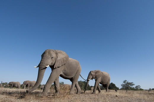 African Elephant (Loxodonta africana) herd, crossing arid plain, low wide angle, Mashatu Game Reserve, Tuli Block, Botswana, june : Stock Photo