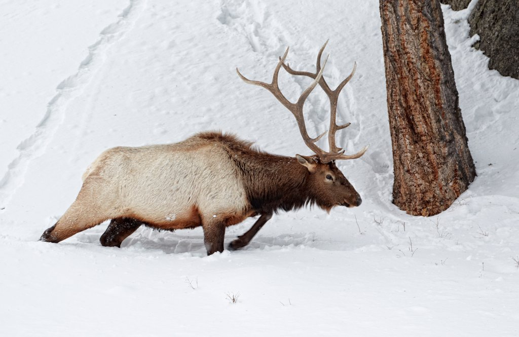 American Elk (Cervus canadensis) adult male, walking in deep snow, Yellowstone N.P., Wyoming, U.S.A., february : Stock Photo