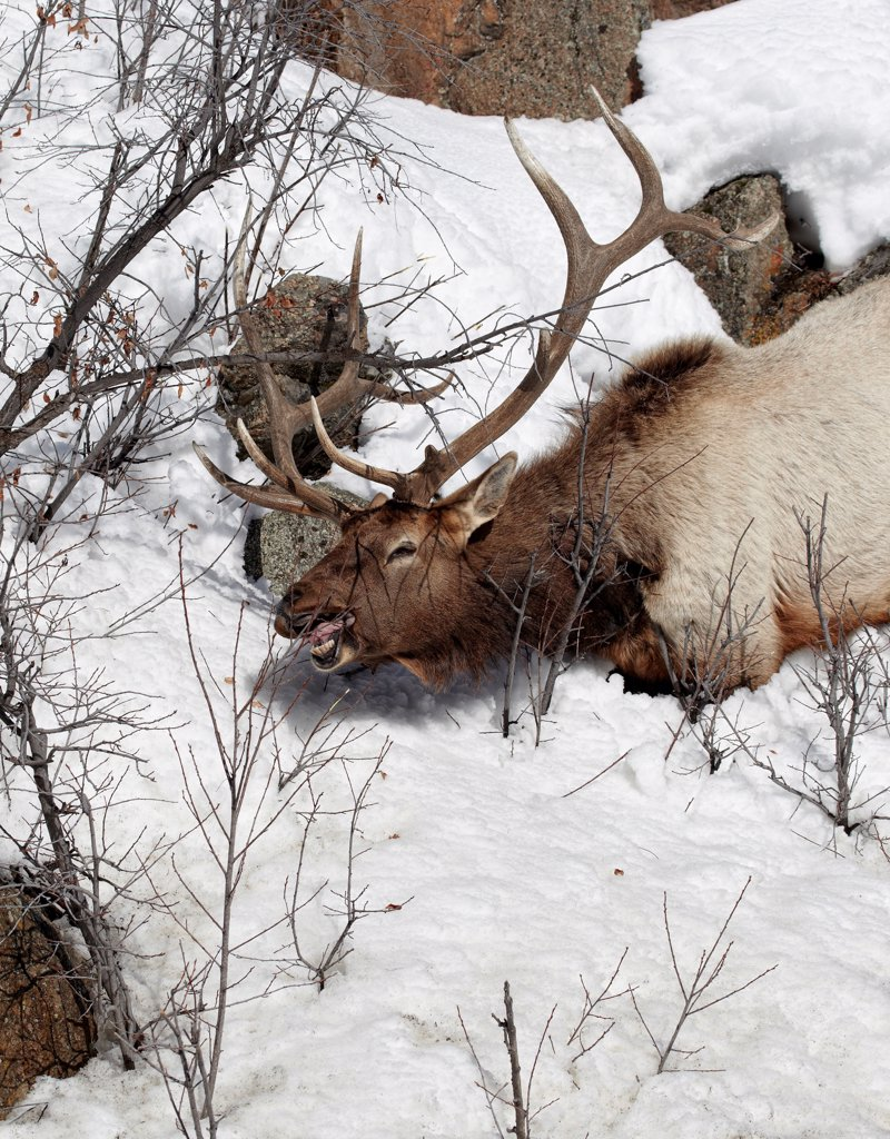 American Elk (Cervus canadensis) adult male, feeding on twigs in snow, Yellowstone N.P., Wyoming, U.S.A., february : Stock Photo