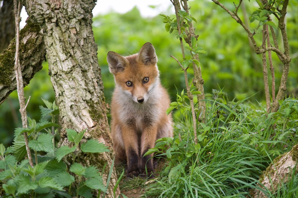 Stock Photo: 4421-18574 European Red Fox (Vulpes vulpes) cub, sitting near den under hedgerow, Oxfordshire, England, may