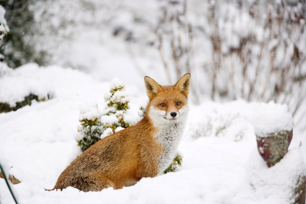 European Red Fox (Vulpes vulpes) adult, standing in snow covered garden, Essex, England, december : Stock Photo