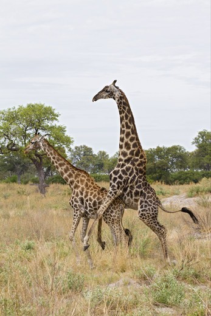 Stock Photo: 4421-18718 Masai Giraffe (Giraffa camelopardalis tippelskirchi) adult pair, mating, Okavango Delta, Botswana