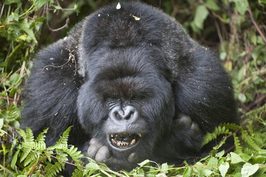 Mountain Gorilla (Gorilla beringei beringei) silverback adult male, close-up of head and shoulders, yawning, resting in vegetation, Volcanoes N.P., Virunga Mountains, Rwanda : Stock Photo