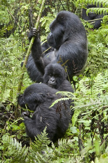 Mountain Gorilla (Gorilla beringei beringei) silverback adult male and young, feeding, sitting in vegetation, Volcanoes N.P., Virunga Mountains, Rwanda : Stock Photo