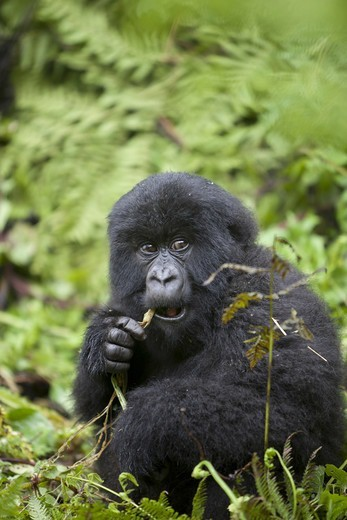 Stock Photo: 4421-18812 Mountain Gorilla (Gorilla beringei beringei) young, feeding, sitting in vegetation, Volcanoes N.P., Virunga Mountains, Rwanda