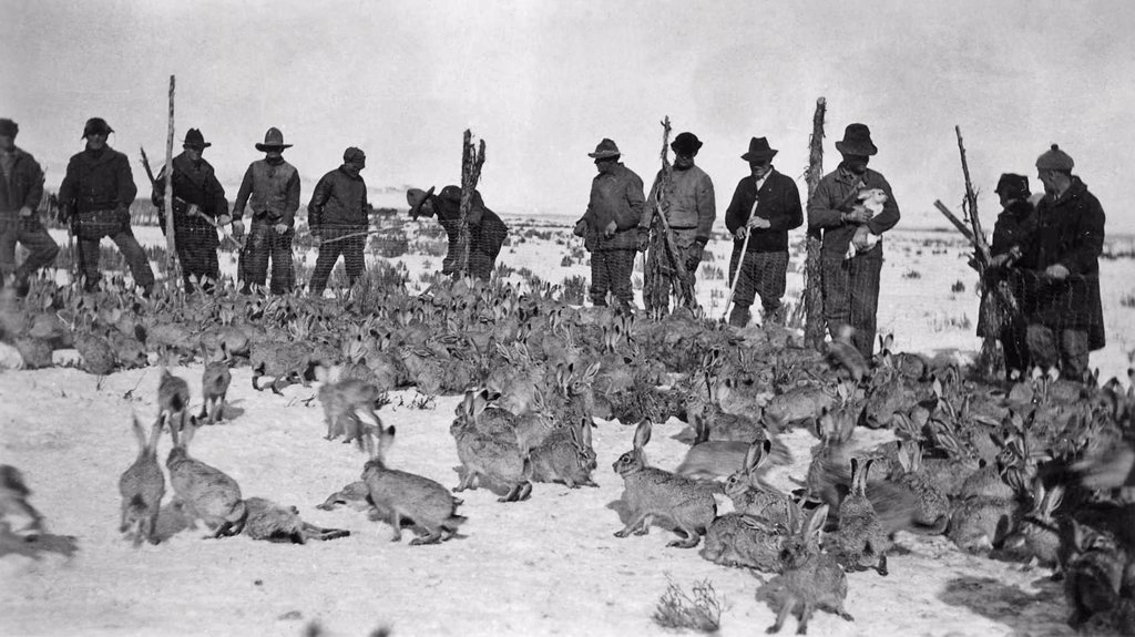 Stock Photo: 4421-18869 Black-tailed Jackrabbit (Lepus californicus) group in corral, organized community drive to cull pest, Idaho, U.S.A., circa 1890 (U.S. FWS)