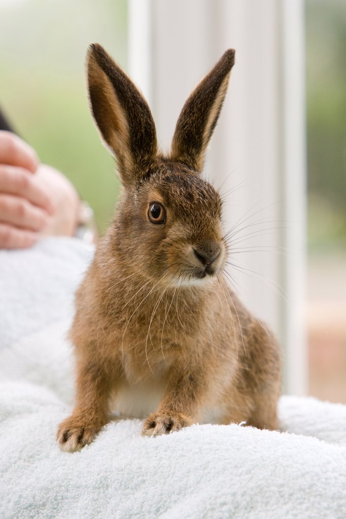 Stock Photo: 4421-18879 European Hare (Lepus europaeus) orphaned leveret, being hand reared, sitting on human lap, Hertfordshire, England