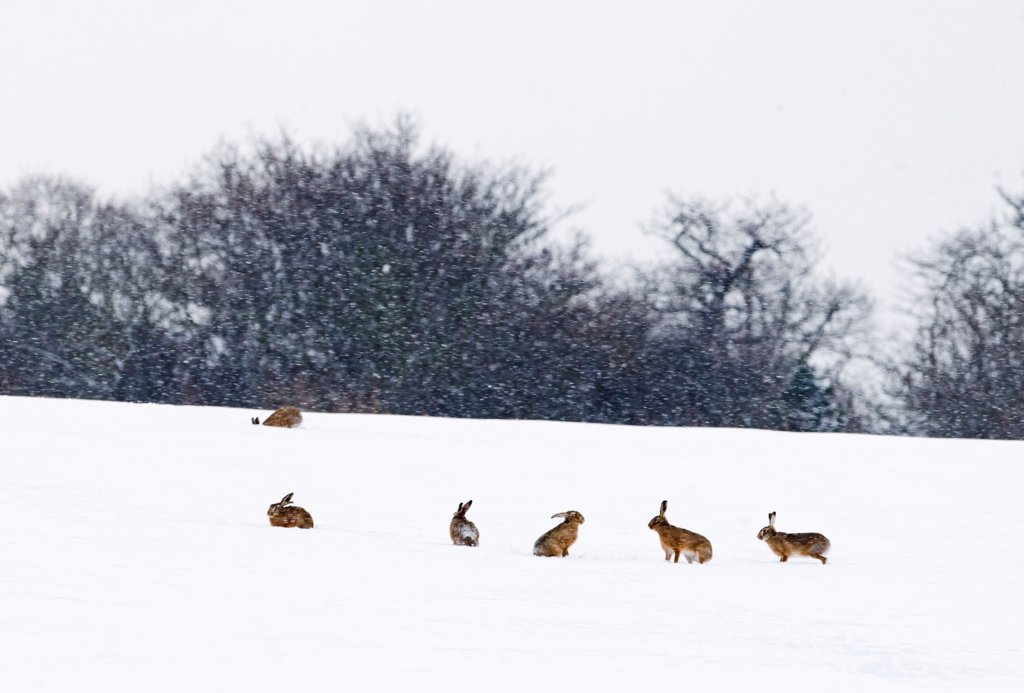 Stock Photo: 4421-18971 European Hare (Lepus europaeus) six adults, in snow covered field during snowfall, Yare Valley, Norfolk, England, january