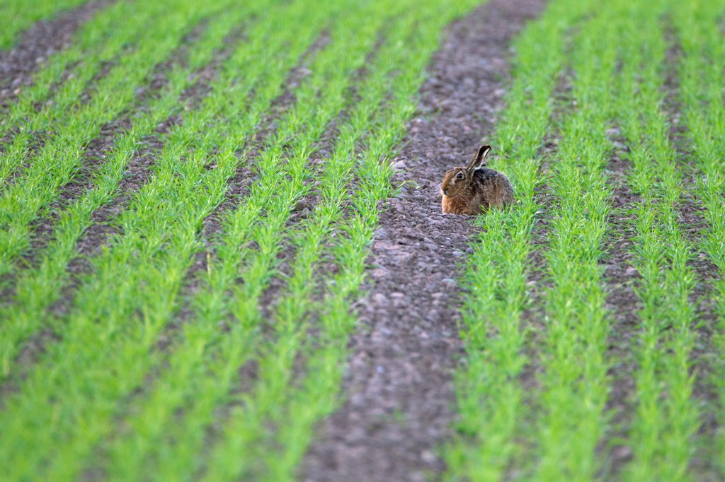 Stock Photo: 4421-18983 European Hare (Lepus europaeus) adult, resting in crop field, Berwickshire, Scottish Borders, Scotland, april