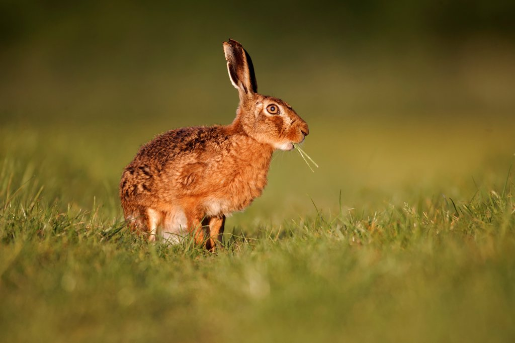 Stock Photo: 4421-18996 European Hare (Lepus europaeus) adult, feeding, sitting on grass in field, Midlands, England, may
