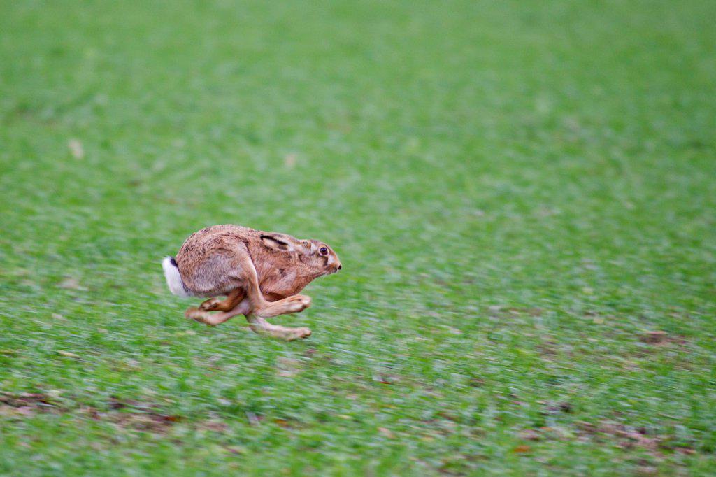 European Hare (Lepus europaeus) adult, running across farmland, Suffolk, England, october : Stock Photo