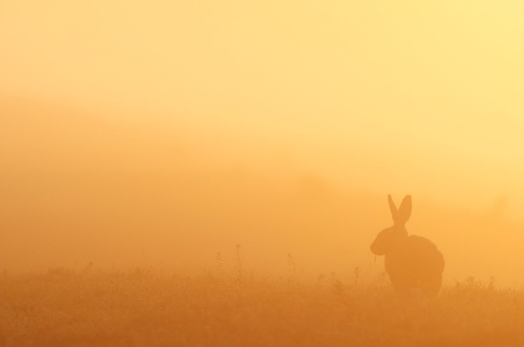 European Hare (Lepus europaeus) adult, feeding, silhouetted at sunrise, North Kent Marshes, Isle of Sheppey, Kent, England, may : Stock Photo