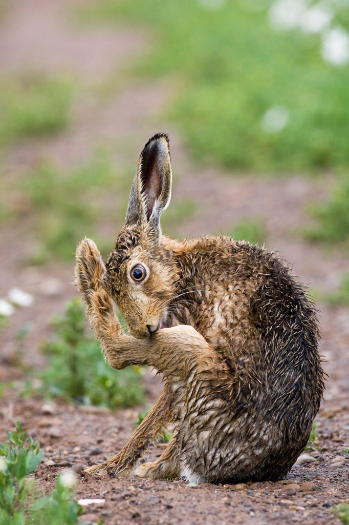Stock Photo: 4421-19024 European Hare (Lepus europaeus) adult, with wet coat, grooming hind leg, sitting on track in farmland, County Durham, England, june