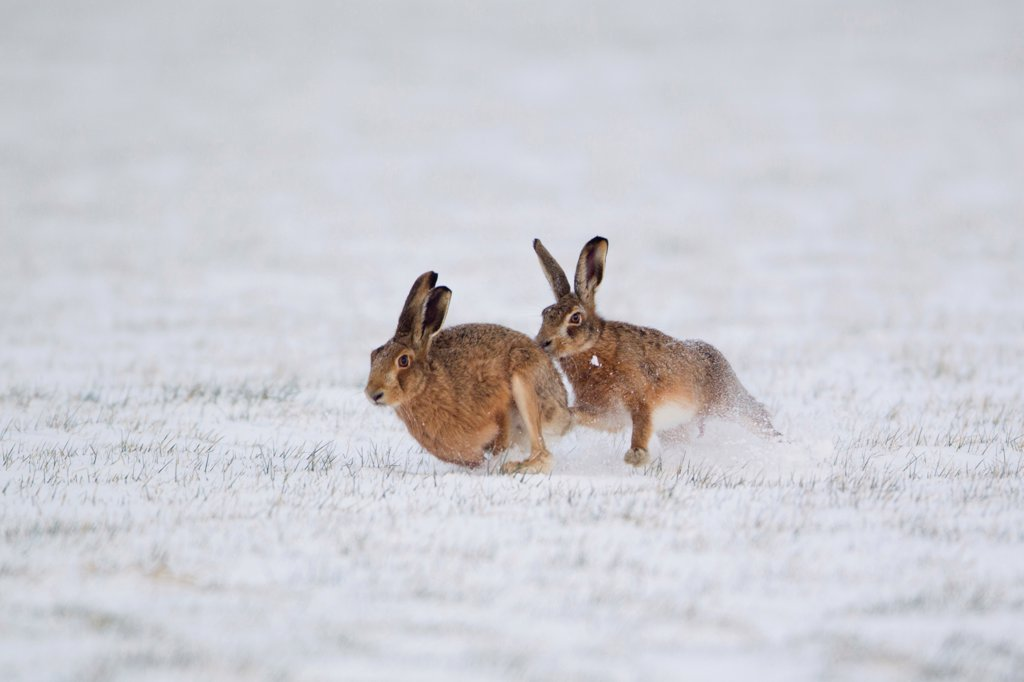 Stock Photo: 4421-19051 European Hare (Lepus europaeus) adult pair, running, male chasing female in snow covered field, Suffolk, England, february