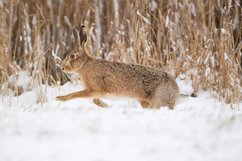European Hare (Lepus europaeus) adult, running on snow at edge of reedbed, Suffolk, England, february : Stock Photo