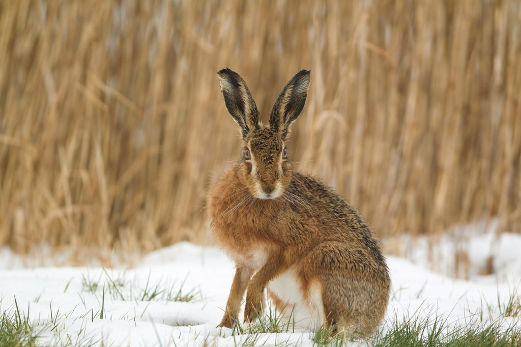European Hare (Lepus europaeus) adult, alert, sitting on snow in field, Suffolk, England, february : Stock Photo