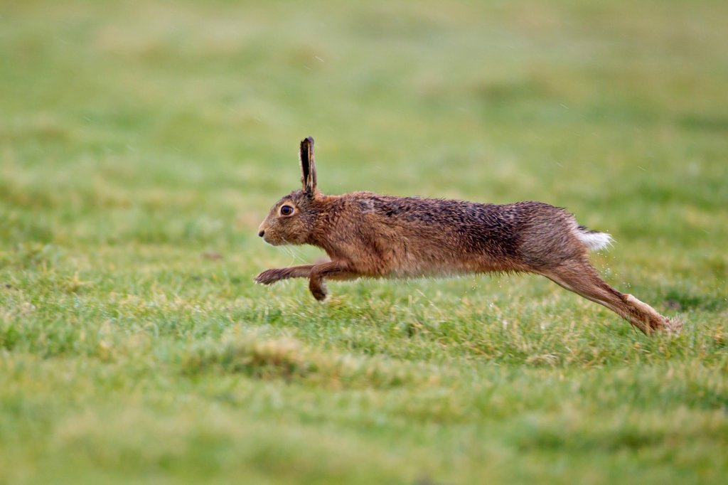 Stock Photo: 4421-19097 European Hare (Lepus europaeus) adult male, running, chasing rival male, Suffolk, England, march