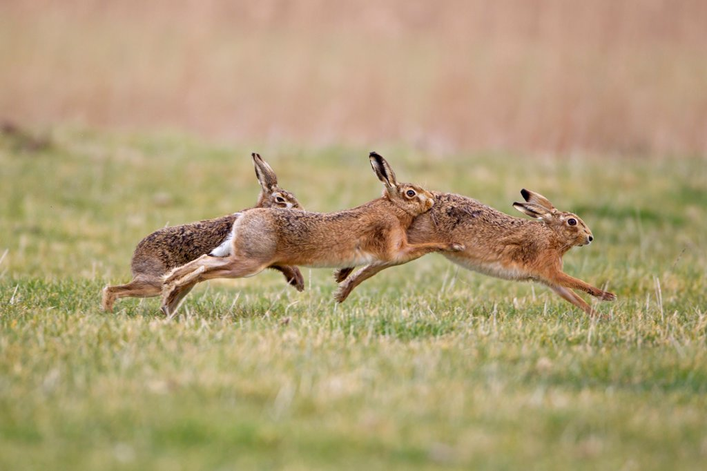 European Hare (Lepus europaeus) three adults, running, two males chasing one female, Suffolk, England, february : Stock Photo