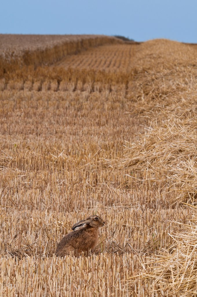 European Hare (Lepus europaeus) adult, sitting in wheat field during harvest, Isle of Sheppey, Kent, England, august : Stock Photo