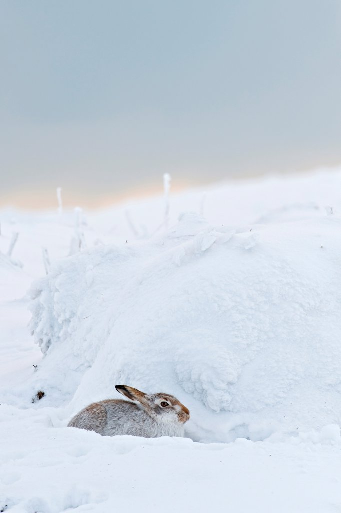 Stock Photo: 4421-19209 Mountain Hare (Lepus timidus) adult, winter coat, sitting on moorland in snow, Peak District, Derbyshire, England, winter