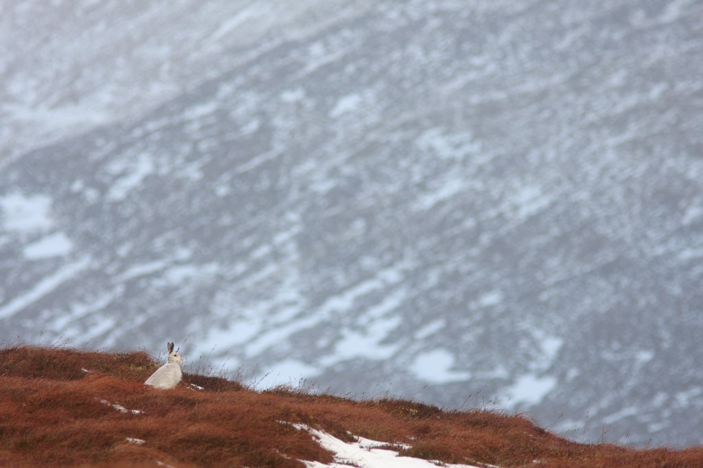 Stock Photo: 4421-19234 Mountain Hare (Lepus timidus) adult, white winter coat, sitting in snow covered upland habitat, Strathspey, Cairngorm N.P., Highlands, Scotland, december