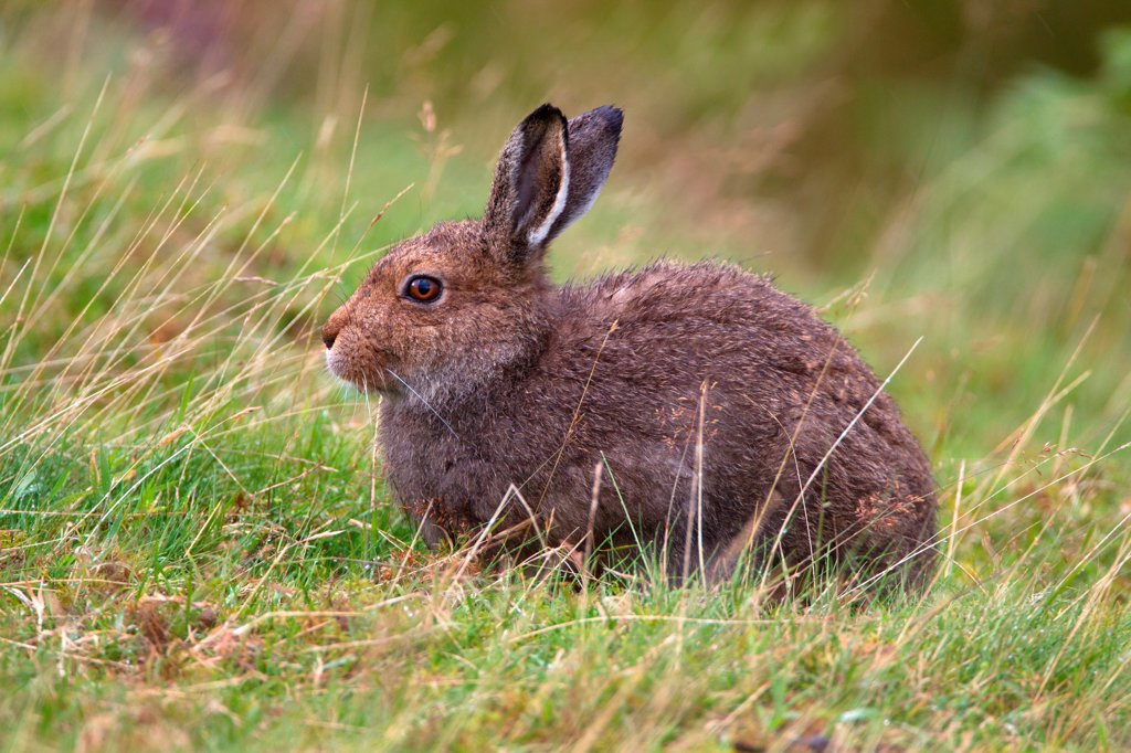 Stock Photo: 4421-19249 Mountain Hare (Lepus timidus) adult, sitting in grass on moorland, Lammermuir Hills, Scottish Borders, Scotland, september