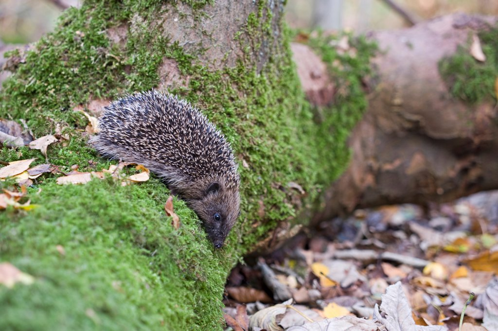 Stock Photo: 4421-19296 European Hedgehog (Erinaceus europaeus) young, on moss covered log in woodland, Norfolk, England, october