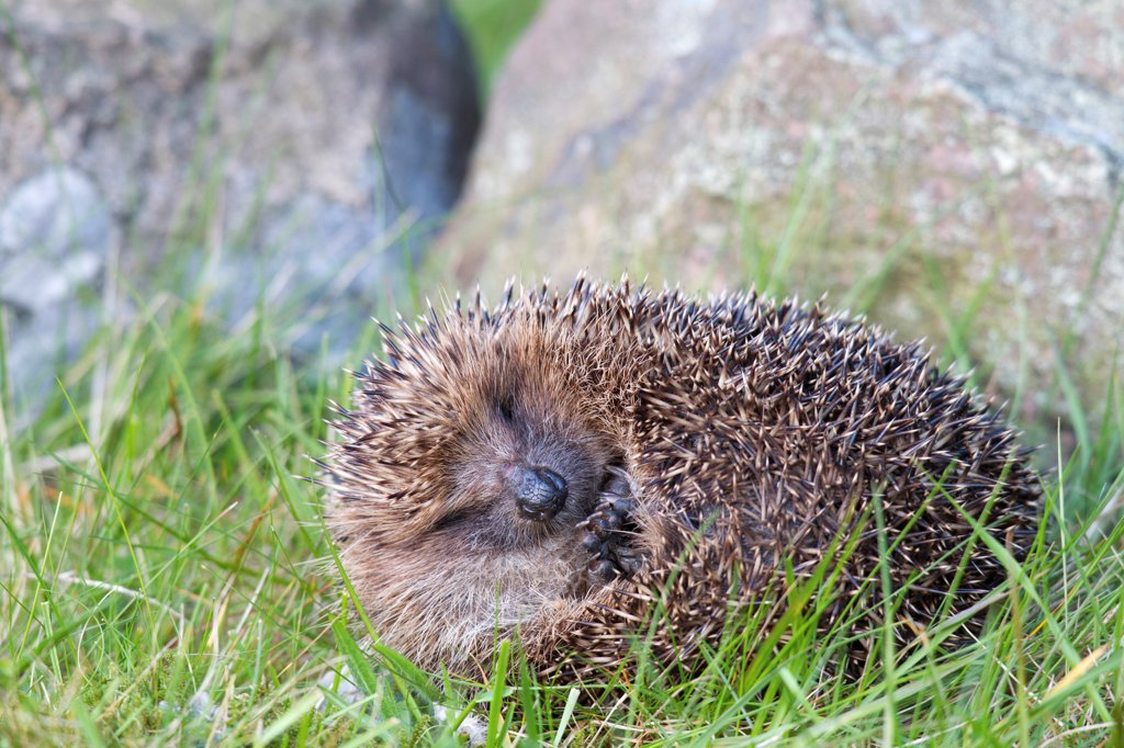 European Hedgehog (Erinaceus europaeus) adult, uncurling from defensive ball at base of drystone wall, Berwickshire, Scottish Borders, Scotland, may : Stock Photo