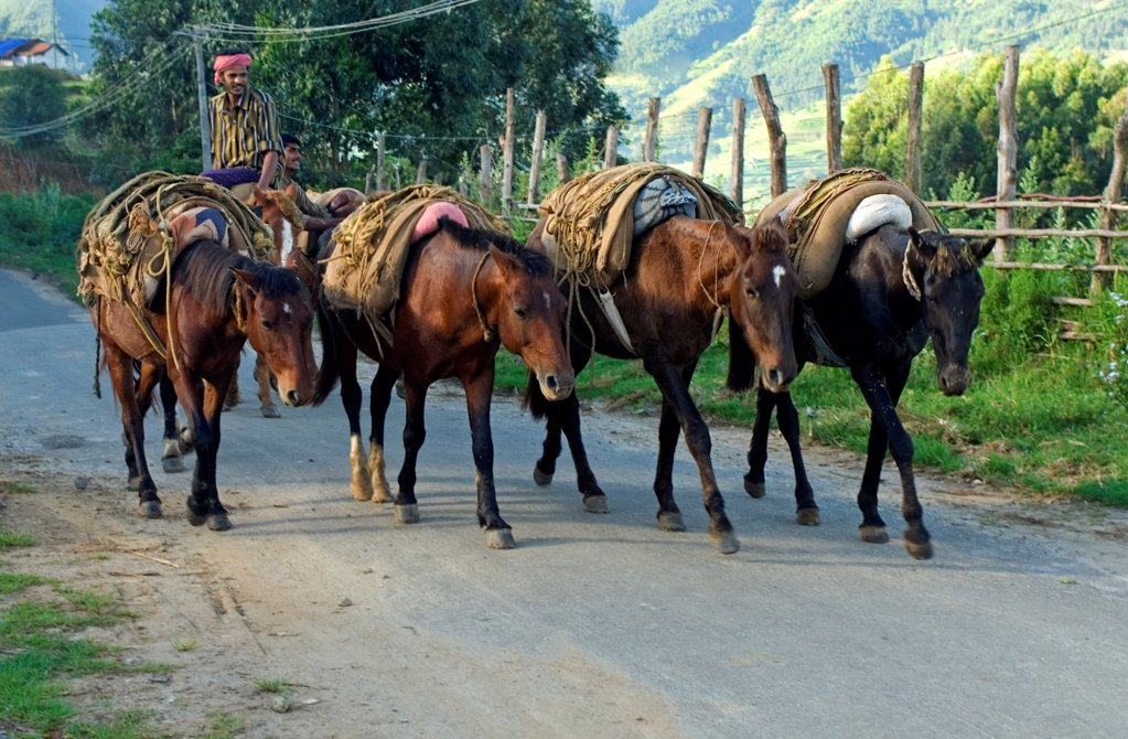 Horses used for carrying harvested crop, Vattavada, Western Ghats, Kerala, India : Stock Photo