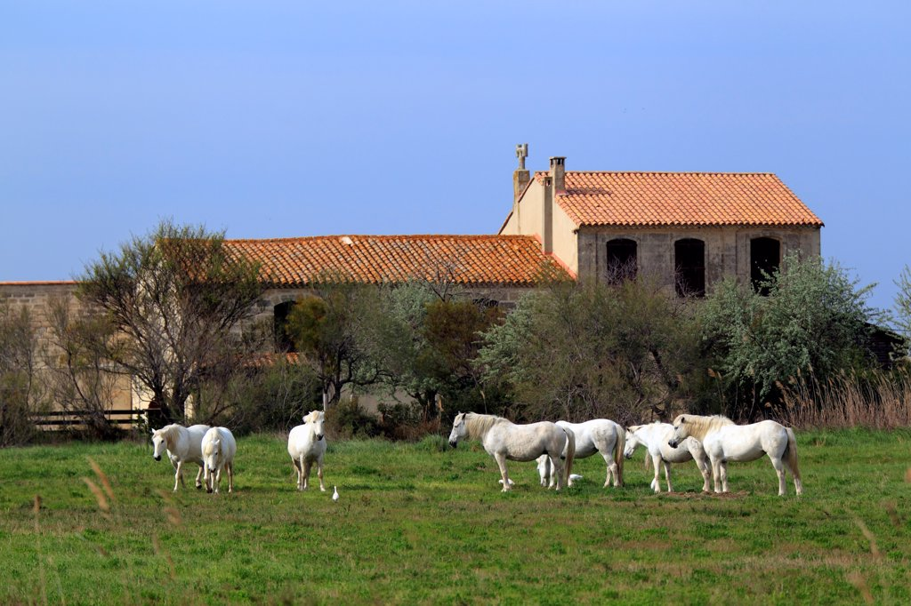 Stock Photo: 4421-19510 Camargue Horse, herd, standing on grass near building, Saintes Marie de la Mer, Camargue, Bouches du Rhone, France