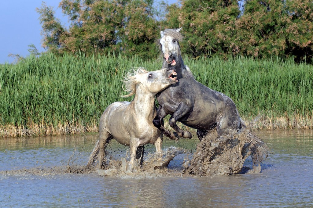 Stock Photo: 4421-19523 Camargue Horse, two stallions, fighting in water, Saintes Marie de la Mer, Camargue, Bouches du Rhone, France