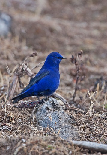 Stock Photo: 4421-1956 Grandala (Grandala coelicolor) adult male, standing on rock, Sela Pass, Arunachal Pradesh, India, january