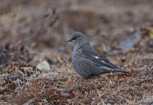 Grandala (Grandala coelicolor) adult female, standing on slope, Sela Pass, Arunachal Pradesh, India, january : Stock Photo