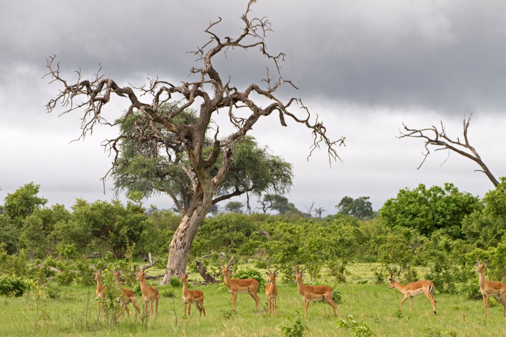 Stock Photo: 4421-19601 Impala (Aepyceros melampus) adult and immature males, alert herd in habitat, Savute, Chobe N.P., Botswana