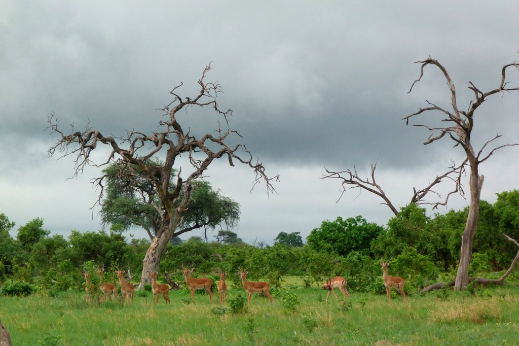 Impala (Aepyceros melampus) adult males, herd standing in habitat, Savute, Chobe N.P., Botswana : Stock Photo