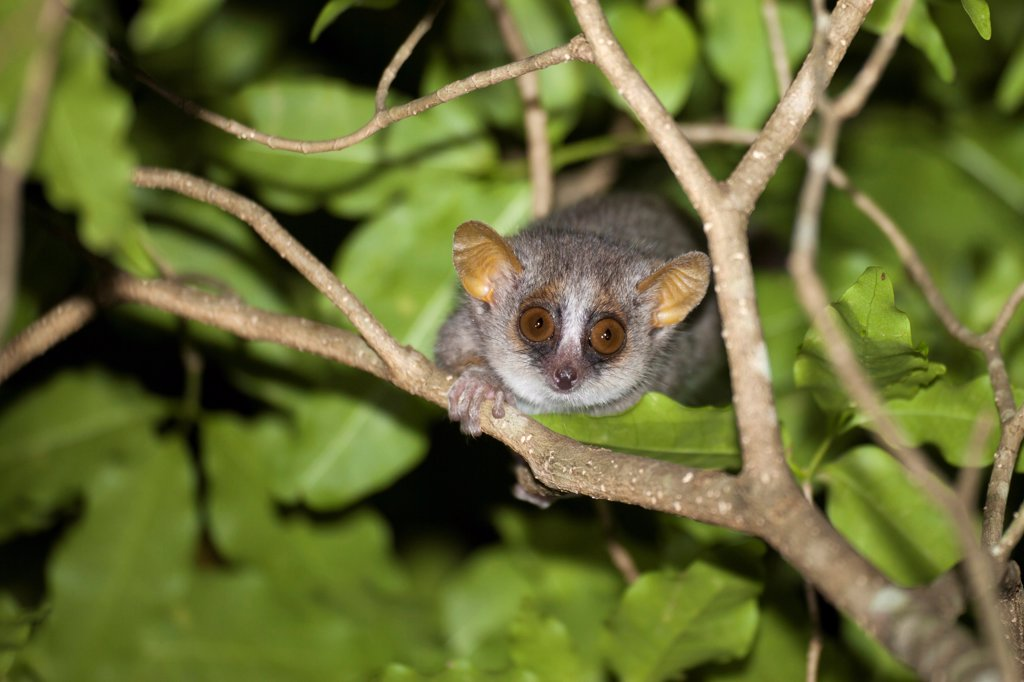 Grey Mouse Lemur (Microcebus murinus) adult, climbing on branches at night, Berenty Reserve, Madagascar : Stock Photo