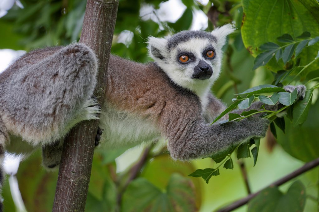 Ring-tailed Lemur (Lemur catta) adult, feeding on leaves in tree, Anja Reserve, Madagascar : Stock Photo