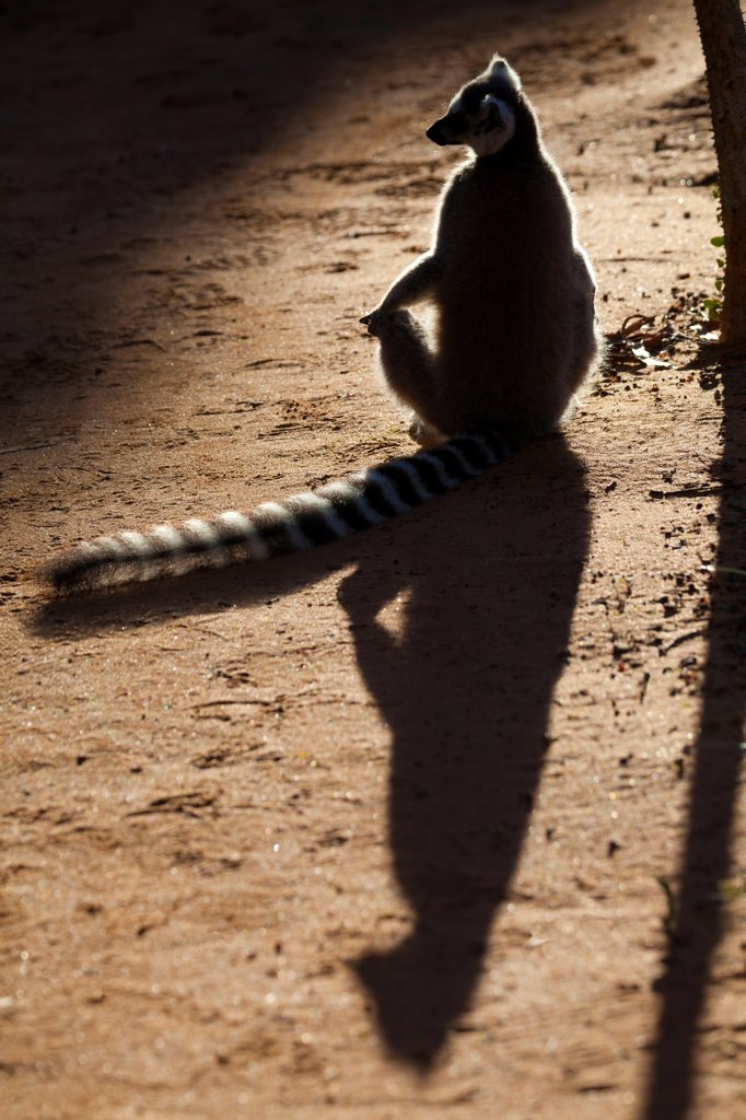 Ring-tailed Lemur (Lemur catta) adult, basking on ground with shadow, Berenty Reserve, Madagascar : Stock Photo