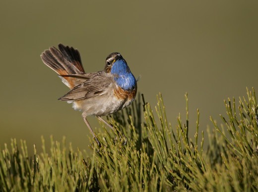 White-spotted Bluethroat (Luscinia svecica cyanecula) adult male, displaying, Gredos, Spain, may : Stock Photo