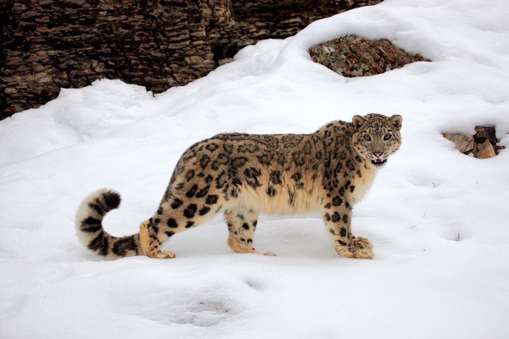Stock Photo: 4421-19786 Snow Leopard (Panthera uncia) adult, standing in snow, winter (captive)