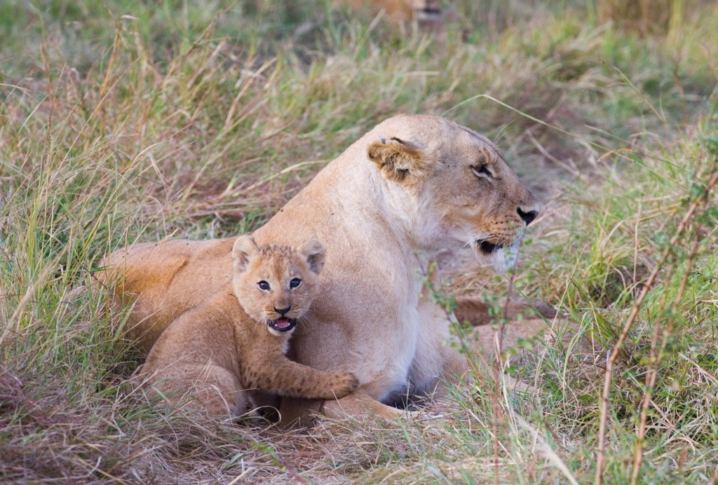Stock Photo: 4421-19829 Lion (Panthera leo) adult female with cub, resting, Masai Mara, Kenya