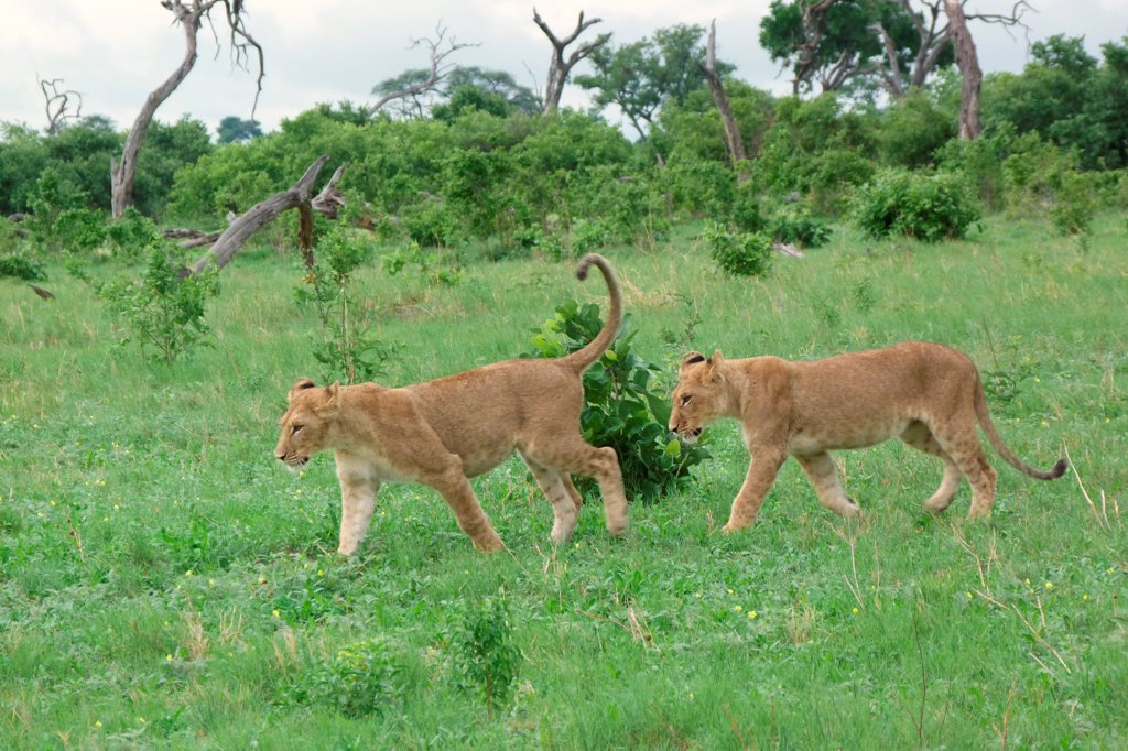 Lion (Panthera leo) two immatures, walking, Savute, Chobe N.P., Botswana : Stock Photo
