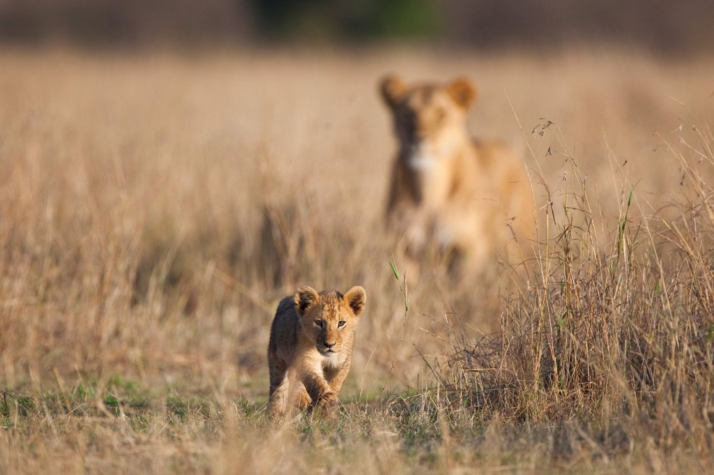 Lion (Panthera leo) six-week old cub, walking, with adult female in background, Masai Mara, Kenya : Stock Photo